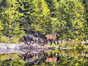 Animal Themes Painting Prints - Horses run Print by Odon Czintos