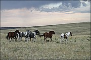 Big Horn  Photography - Horses Running Free