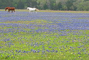 Dreams Free Prints - Horses Running in Field of Bluebonnets Print by Connie Fox