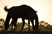Michael Photo Posters - Horses sunset Poster by Michael Mogensen