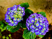 Violet Photos - Hortensia by Marco Oliveira