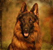Dogs Digital Art Metal Prints - Hoss - German Shepherd Dog Metal Print by Sandy Keeton