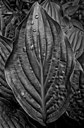 Leaves - Hosta and Rain Drops by Robert Ullmann