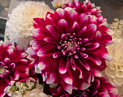Hot Dahlia  Print by Arlene Carmel