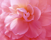 Dark Pink Photos - Hot Pink Begonia Flower by Jennie Marie Schell