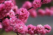 Hot Pink Blossom Print by Joy Watson