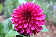 Gerry Bates - Hot Pink Dahlia