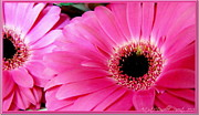 P Greeting Cards Greeting Cards Digital Art Prints - Hot Pink Gerber Daisies Macro Print by Danielle  Parent