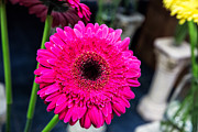 Daiseys Framed Prints - Hot Pink Gerber Daisy Framed Print by Jodi Jacobson
