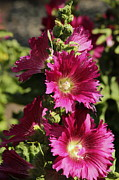 Rosanne Jordan - Hot Pink Hollyhocks
