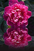 Christiane Schulze Acrylic Prints - Hot Pink Peony Reflection Acrylic Print by Christiane Schulze