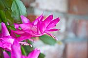 Hot Pinnk Christmas Cactus Flower Print by Valerie Garner