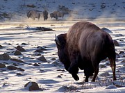 Bison Photos - Hot Springs Gathering by Bill Stephens