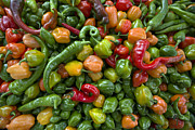 Hot Peppers Framed Prints - Hots 2013 Framed Print by Terri Winkler