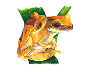 Amphibians Originals - Hourglass treefrog by Cindy Hitchcock