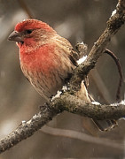 Gene Tatroe - House Finch 42