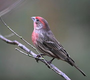 House Finch Photos - House Finch by Angie Vogel