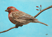 Feathers Paintings - House Finch by Crista Forest