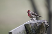Backyards Posters - House Finch Poster by Heather Applegate
