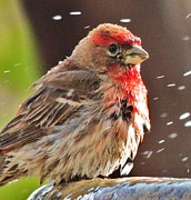 Bird Watcher Posters - House Finch Poster by Helen Carson
