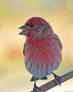 House Finch II Print by Debbie Portwood