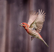House Finch Photos - House Finch in Flight by Rick Barnard