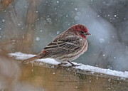 Bird Watching Prints - House Finch in Winter Print by Pamela Baker