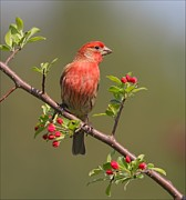 Behm Pyrography Framed Prints - House Finch on Apple Blossoms Framed Print by Daniel Behm
