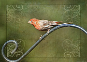 Debbie Portwood - House Finch on Guard II