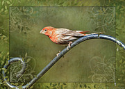 Greetingcard Framed Prints - House Finch on Guard III Framed Print by Debbie Portwood