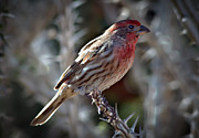 Residents Framed Prints - House Finch Framed Print by Robert Bales