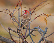 J Finch Art - House Finch Singing His Song by J Larry Walker