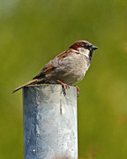 Paul Scoullar - House Sparrow