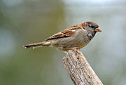 Sparrow Prints - House Sparrow Print by Todd Hostetter