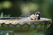 Birdbath Framed Prints - House Sparrow Washing Framed Print by Tim Gainey