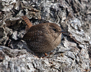 Birds - House Wren DSB188 by Gerry Gantt