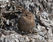 Birds - House Wren DSB189 by Gerry Gantt