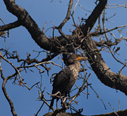 Phalacrocorax Auritus Prints - Houston Wildlife Double Crested Cormorant  Print by Joshua House