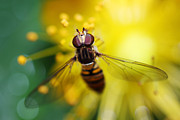 HJBH Photography - Hoverfly close-up