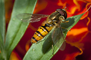 Flies Prints - Hoverfly Print by Donald Davis