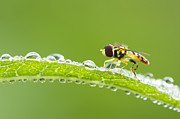 Netting Posters - Hoverfly in dew Poster by Mircea Costina Photography
