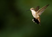 Hummingbird In Flight Posters - Hovering Hummingbird  Poster by Sabrina L Ryan