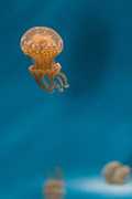 Monteray Bay Framed Prints - Hovering Spotted Jelly 2 Framed Print by Scott Campbell