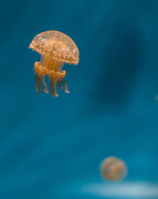 Monteray Bay Framed Prints - Hovering Spotted Jelly 3 Framed Print by Scott Campbell