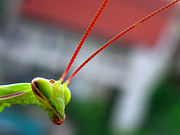 Praying Mantis Photos - How are you? by Daliana Pacuraru