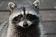 Raccoon Art - How Do You Like This Face? by Kym Backland