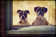 Boxer Dog Art Print Framed Prints - How Much is that Doggie in the Window? Framed Print by Stephanie McDowell