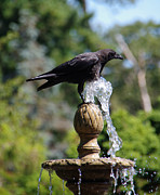Crow Image Photos - How to Stay Cool in Summer by Marilyn Wilson