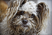 Cairn Terrier Photos - How Ya Doing by Saija  Lehtonen
