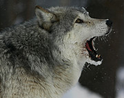 Shelley Myke Art - Howling Gray Wolf  by Inspired Nature Photography By Shelley Myke